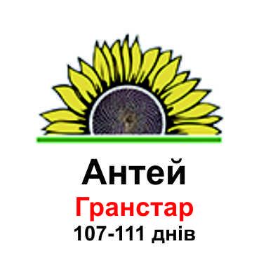 Подсолнечник Антей
