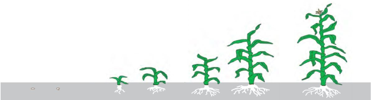 Gumifild_Схема кукуруза Гудмифилд