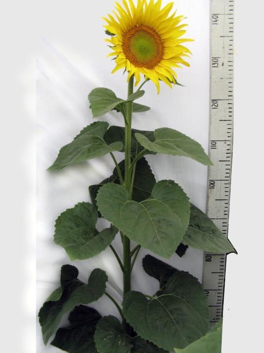 Семена подсолнечника Боярин