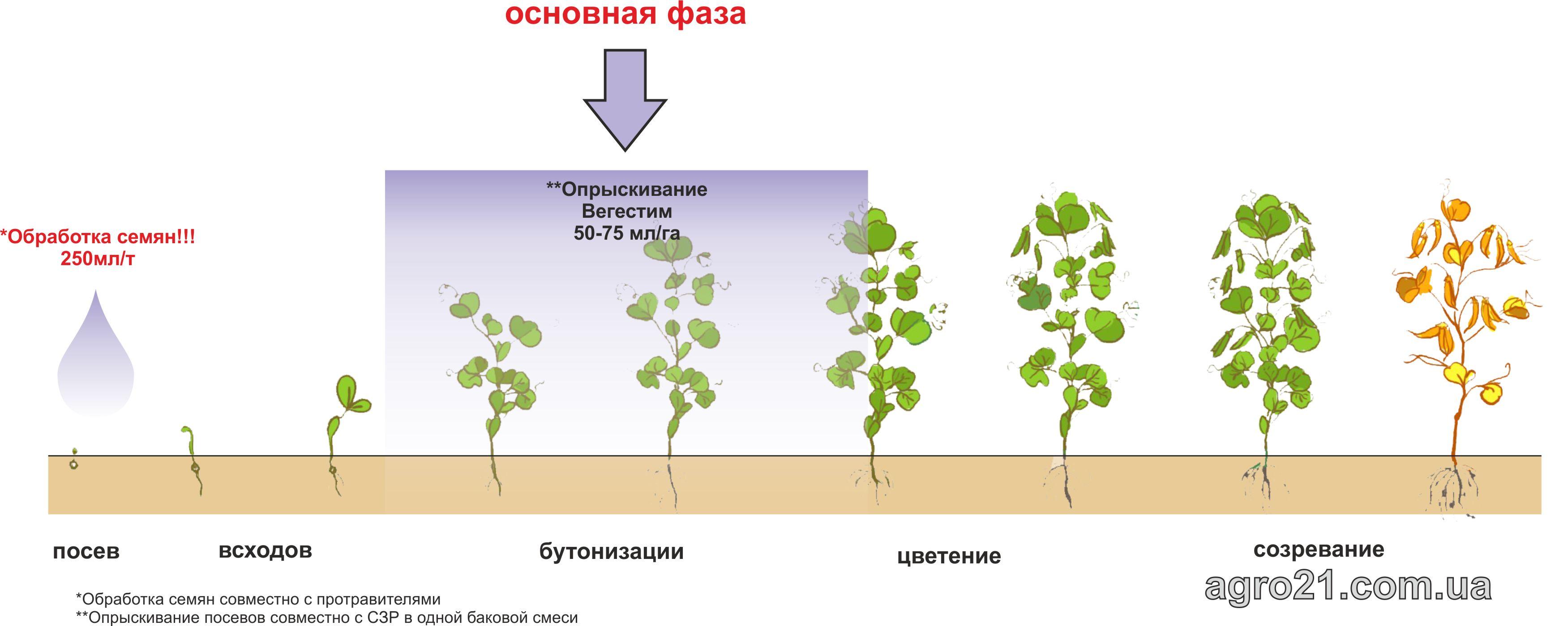 Вегестим. Схема застосування стимулятору росту рослин на посівах гороху