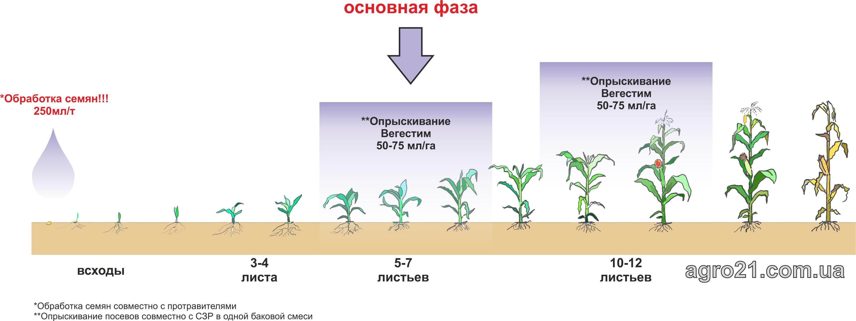 Вегестим. Схема применения стимулятора роста растений на кукурузе