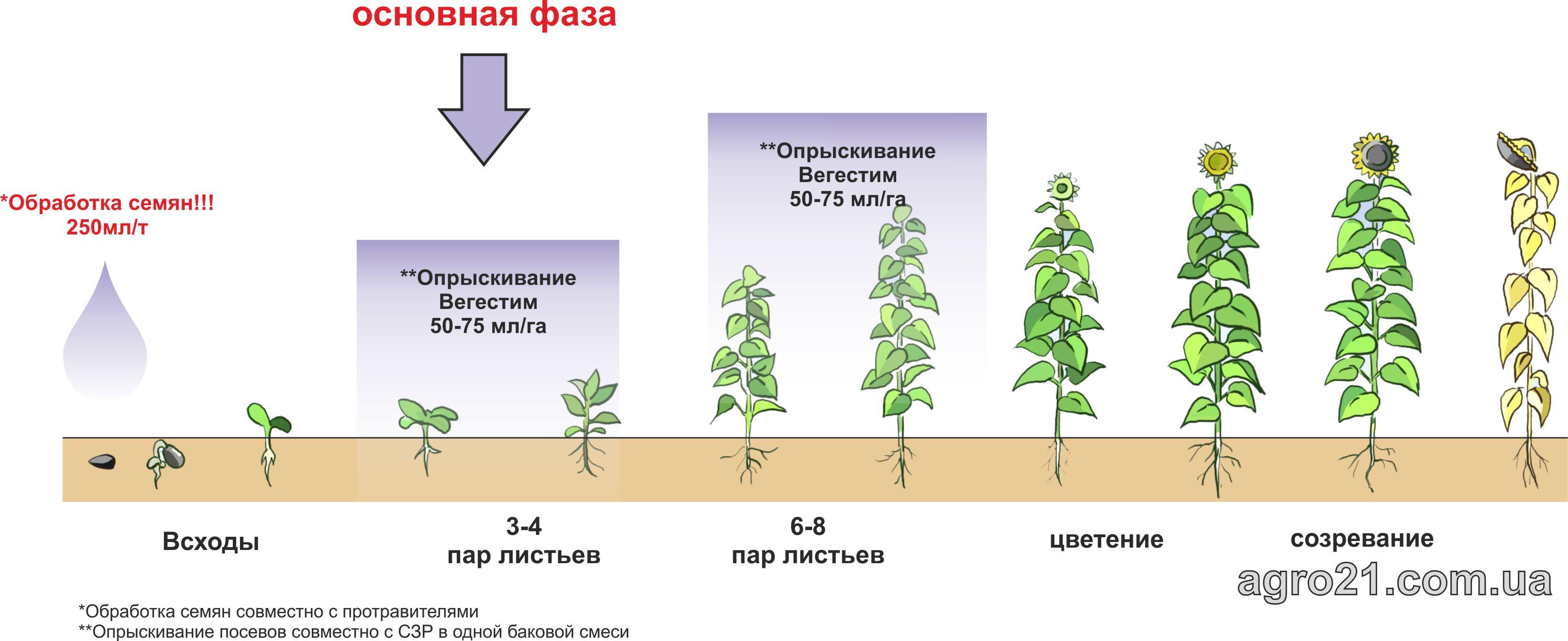 Вегестим. Схема применения стимулятора роста растений на подсолнечнике.