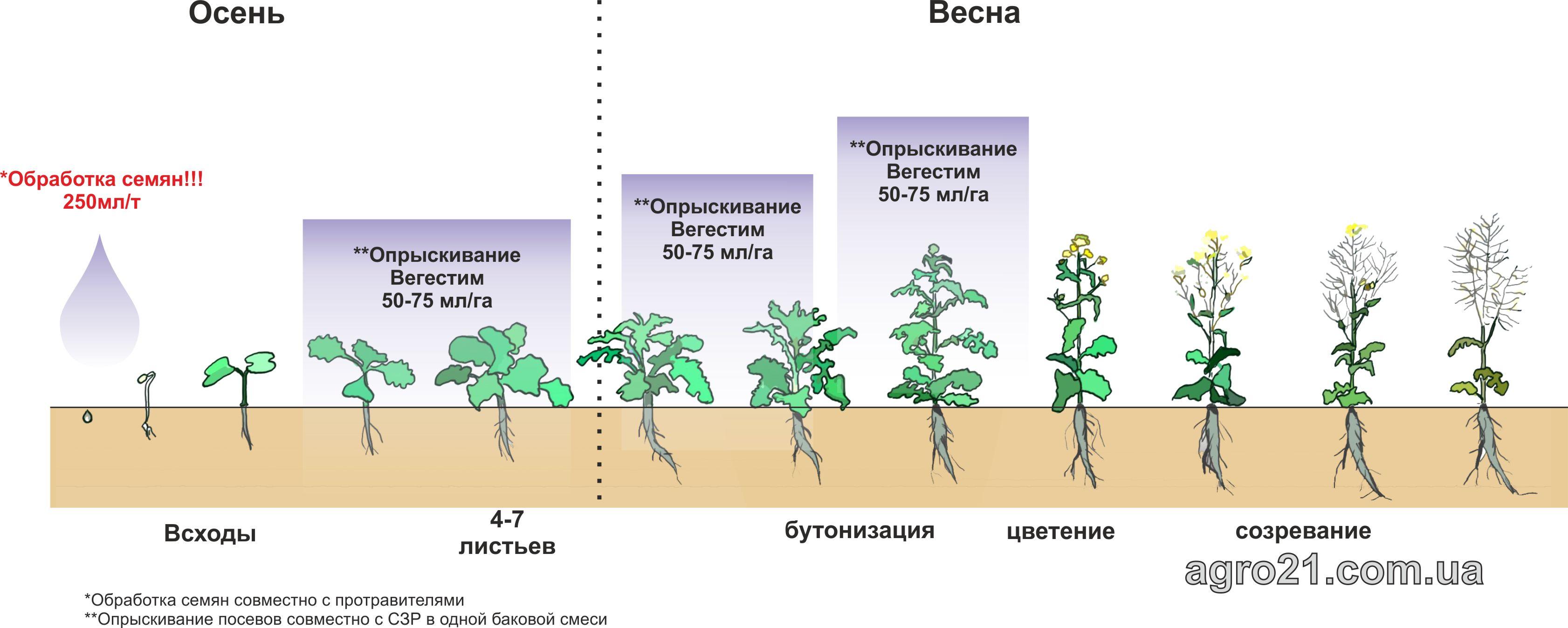 Вегестим. Схема застосування стимулятору росту рослин на посівах ріпаку