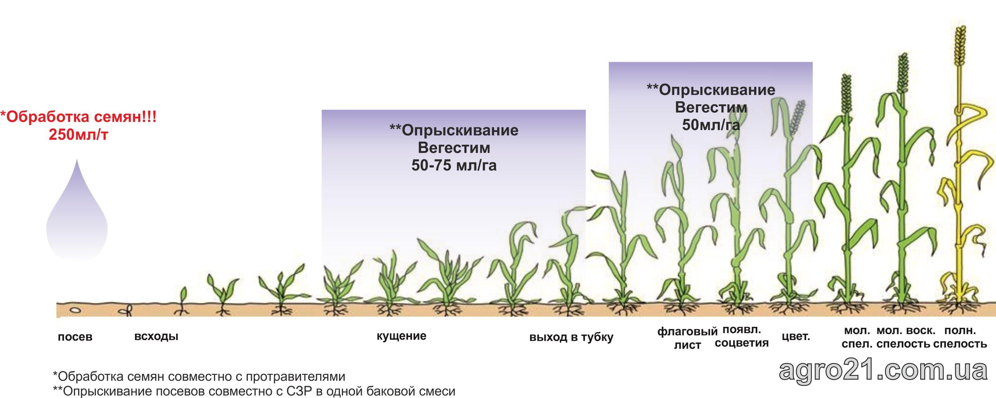 Вегестим. Схема применения стимулятора роста растений на зерновых.